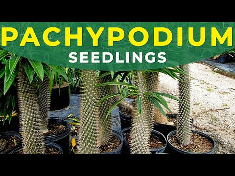 HOW TO GROW PACHYPODIUM FROM SEEDS? | Planting seedlings, adult plants transplanting