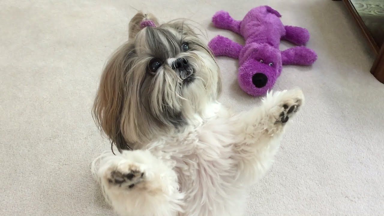 Image result for Shih Tzu dog Enjoy Watching tv with at owner