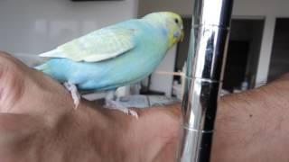 セキセイインコのペッパー(♀、1歳3ヶ月)。 手に戯れた後に、飛び立ち...