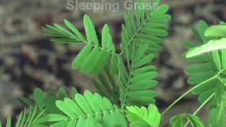Mimosa Pudica - The Sensitive Plant thumbnail