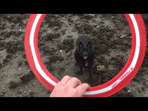 Schipperke Dog Trips Himself With A Frisbe