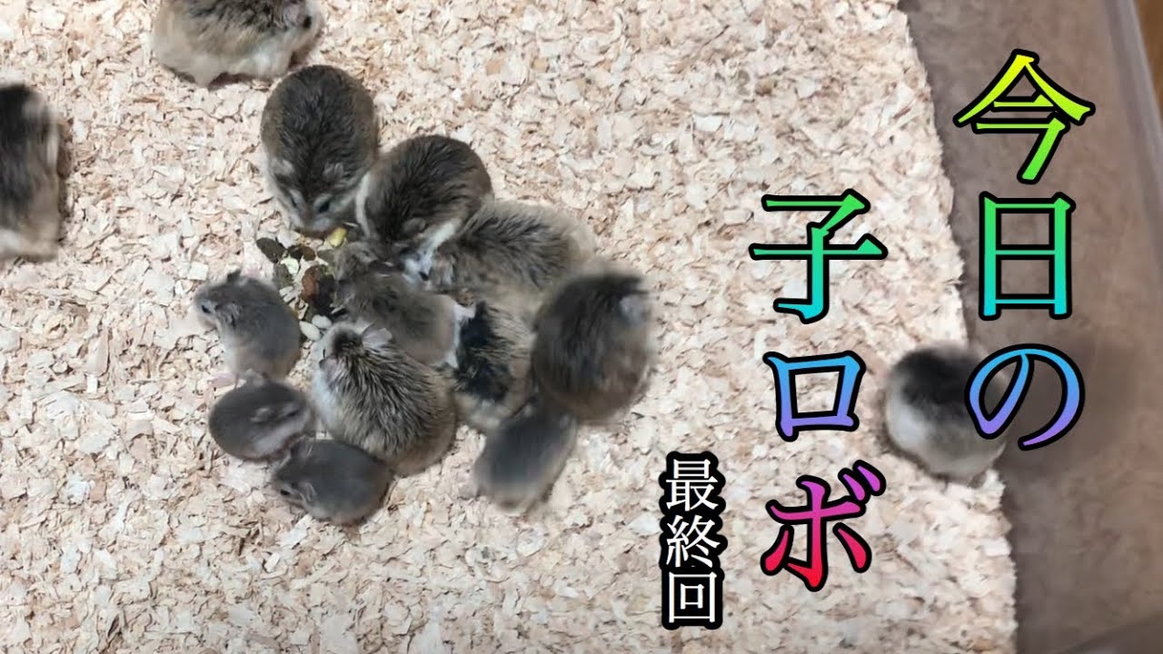 【ロボ】ロボロフスキーハムスターの子どもの今日の様子最終話 多頭飼い部屋についに合流!
