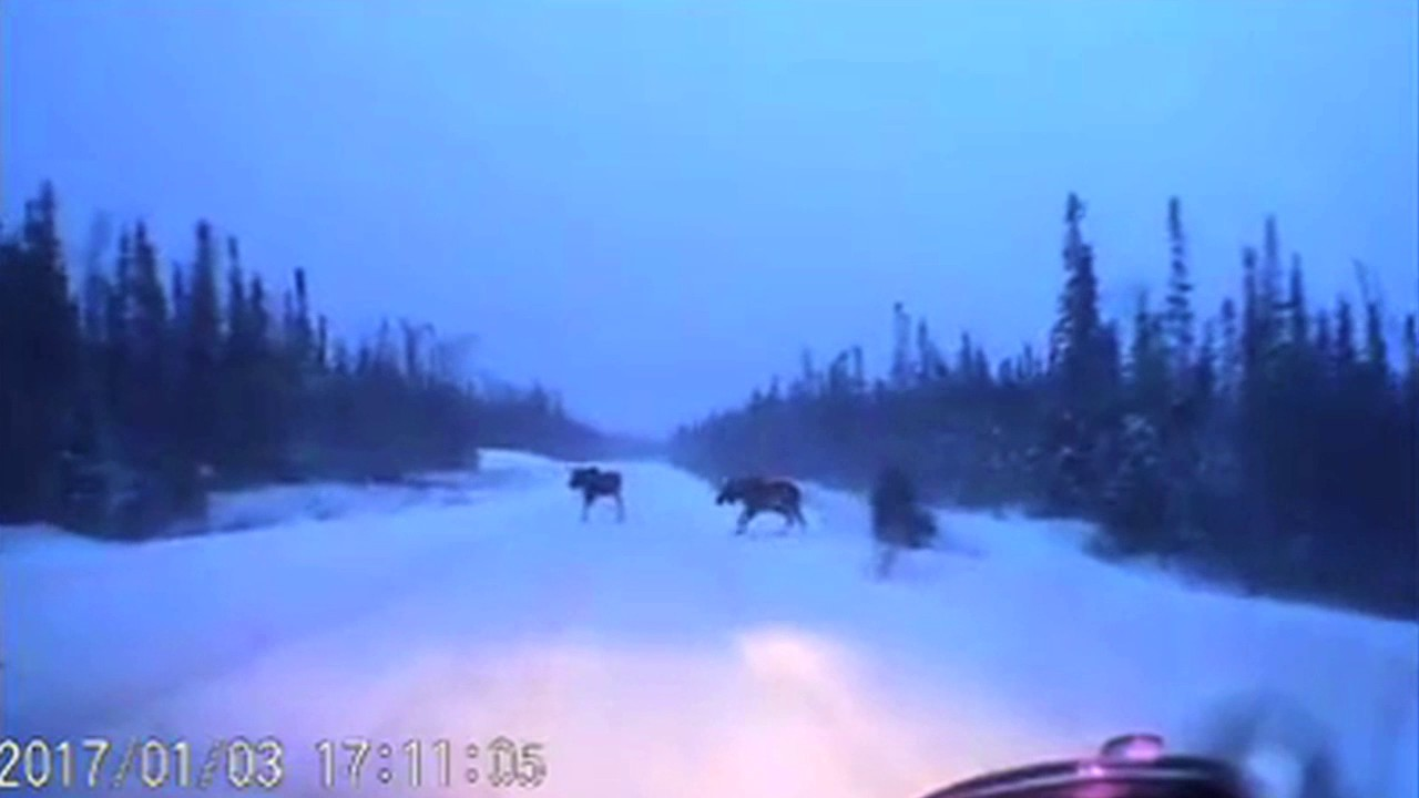 Car narrowly avoids 4 moose on snowy road