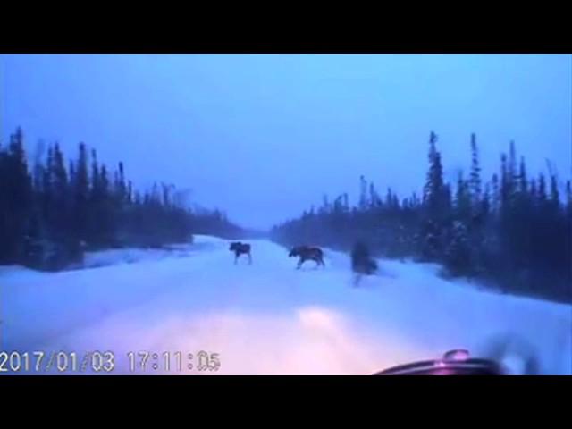 Car narrowly avoids 4 moose on snowy road