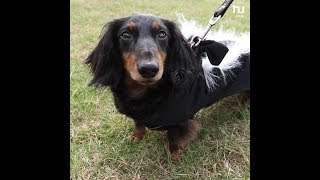 Hundreds of weiner dogs participate in Howl-O-Weiner Walk