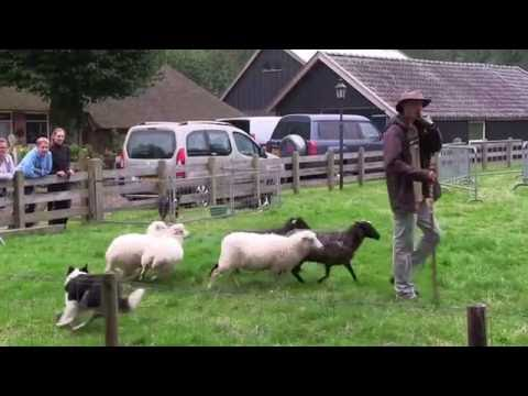 schapen drijven / hoeden Oogstdag Dwingeloo/Lhee