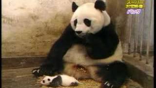 דוב פנדה מתעטש