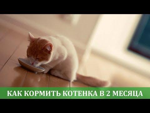 Как правильно кормить котенка 2 месяца