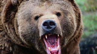 Медведь ест мясо под током