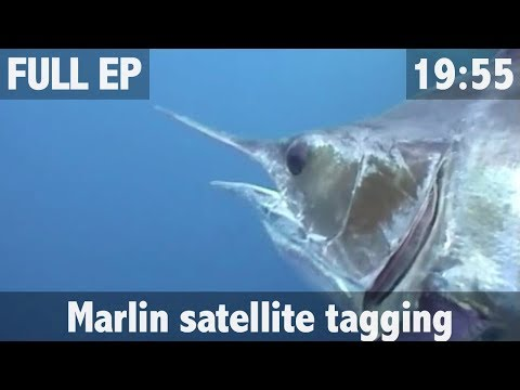 ULTIMATE FISHING MARLIN SATELLITE TAGGING ADVENTURE