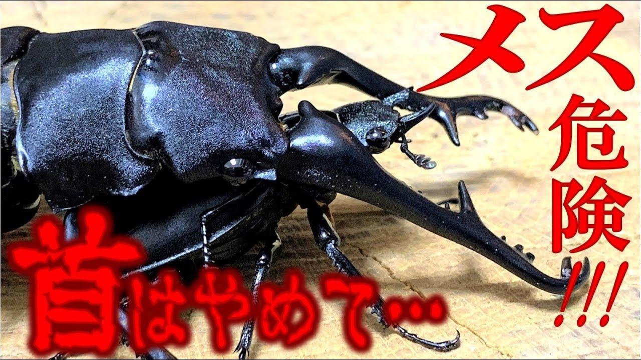 カブトムシ 産卵 止める