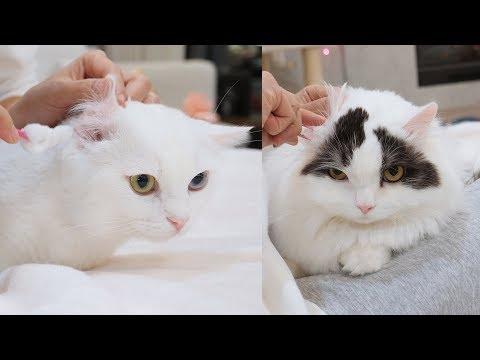 고양이 귀청소는 엄청 쉬워요! 30초만에 삭삭~