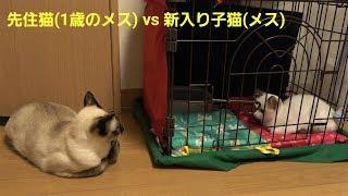 細くて痩せ気味なシャム猫風白子猫を急遽保護し、新入り子猫として向かい入れた初日の様子🙀🐾