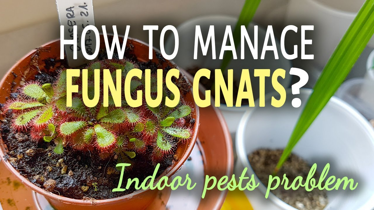how to manage fungus gnats indoors 3 ways to get rid of fungus gnats youtube. Black Bedroom Furniture Sets. Home Design Ideas