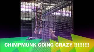 Chipmunks going crazy
