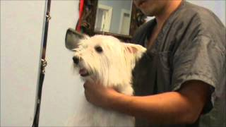 Grooming A Nervous Westie (west Highland Terrier)