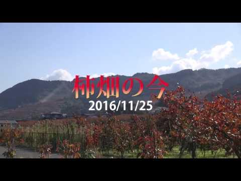 ab4cb55663c3 うきはかいねっと 道の駅より「紅葉」柿畑、藤波ダム公園の今を紹介 2016/11/25 | うきはかいねっと