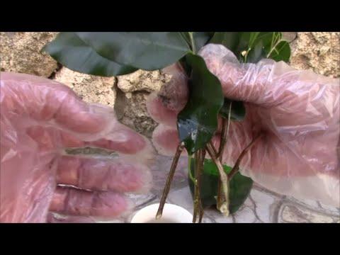 Фикус Бенджамина.  Размножение черенками.  Мой опыт!