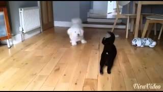 Very Funny Bichon Frise Dog Playing With Cat