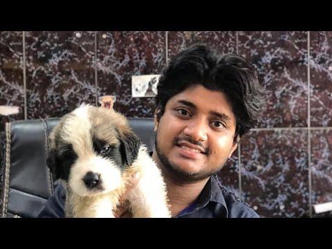 Saint Bernard Puppies   Gaint Breed   Contact - 7275863266  