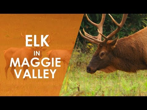 Elk in Maggie Valley  North Carolina Weekend  UNC-TV