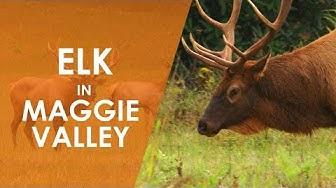 Elk in Maggie Valley | North Carolina Weekend | UNC-TV