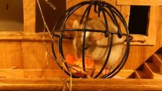 ゾウパーク内の建物内で飼育されているハツカネズミ 餌を入れてある丸い...
