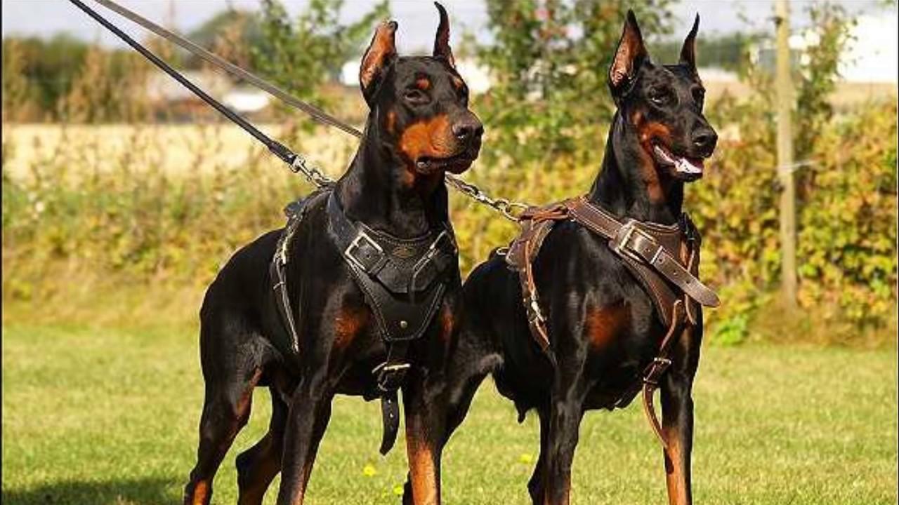 Rottweiler And Doberman