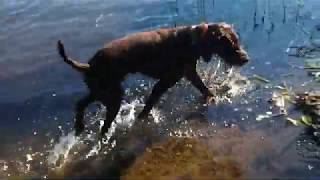 Rigby the pudelpointer starting to get the hang of water retrieving