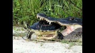 A failed predation process. Crocodile Snake ..