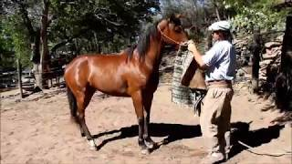 How to saddle a touchy horse.