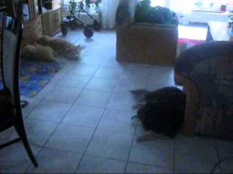 dog hide and seek, mental activity with Akita and Lapphund