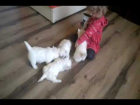 Westie - West Highland White terrier puppies feeding