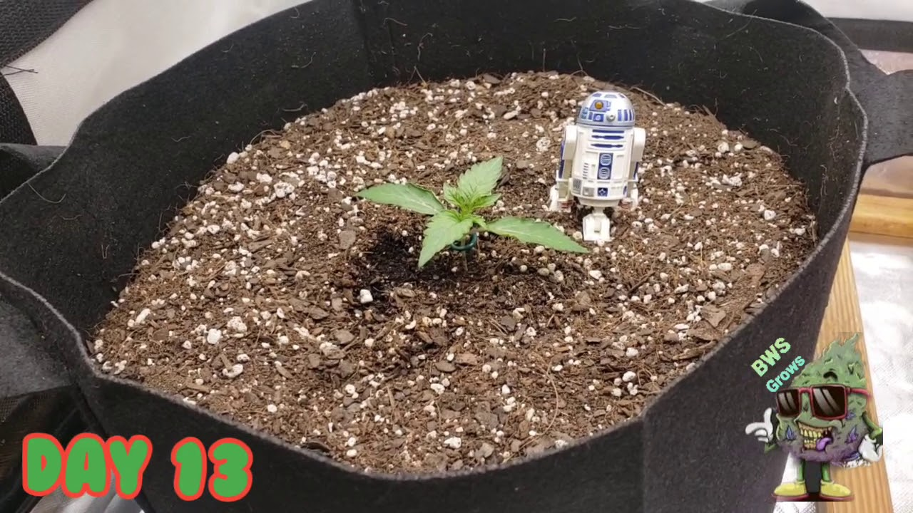 Download Seed to Harvest Series, Episode - 2  Week 2 & 3 of Veg Autoflower & Photoperiod