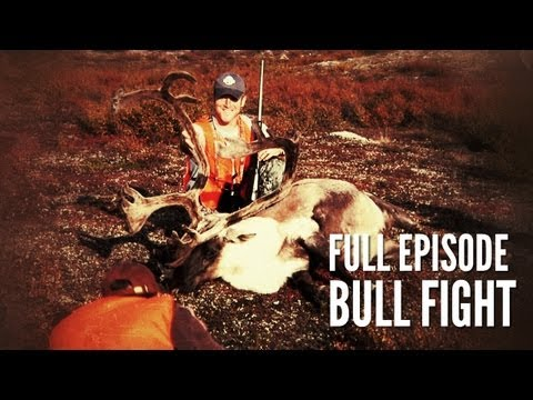 Northern Quebec Caribou Hunt | Bull Fight