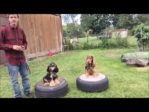 English Cocker Spaniel's play and Train together