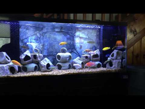 55 gallon african cichlid tank update 6