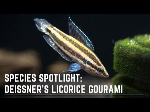 Species Spotlight - Deissner's Licorice Gourami - How To Care For And Breed Parosphromenus Deissneri