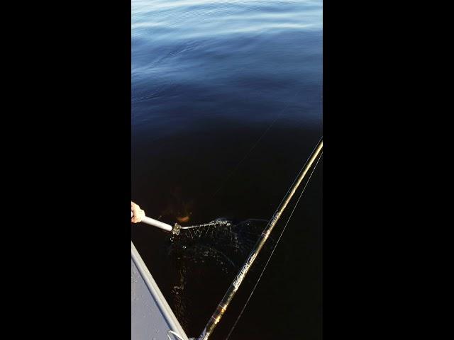 Angler Catches 31.25