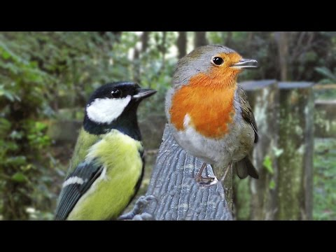 Bird Sounds : Birds Chirping for Cats to Watch and Listen To