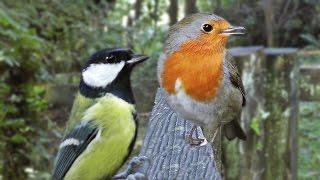 أصوات الطيور : الطيور النقيق أصوات القطط لمشاهدة والاستماع إلى