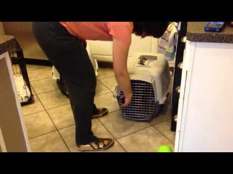 Irish Water Spaniel Puppy Crate training group 2