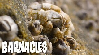 Barnacles   In The Field