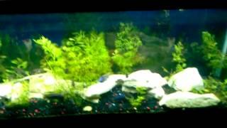 Cichlid Fish Room ...update
