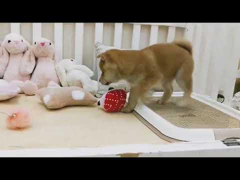 PuppyFinder.com : Purebred Red Shiba Inu Frankie