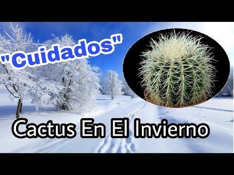 cactus en el invierno cuidados youtube