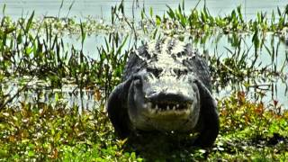 How fast is an American Alligator?