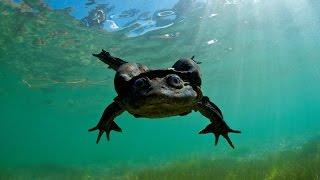 Trend Update: Dead Scrotum Frogs in Peru, October 2016