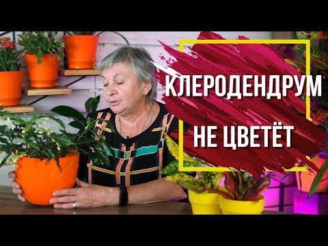 Почему не цветет Клеродендрум 🌺 Клеродендрум Посадка и Уход 🌺 Комнатные Цветы