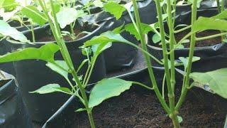 Pemangkasan tanaman cabe  hidroponik dalam polybag